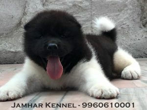 Akita Puppy For Sale-Dog Breeder in Pimple Saudagar, PCMC, Pune Pet Shop / Store, Dog n Cat Breeder in Pimple Saudagar – Jamhar Kennel | pet shop / store, dog n cat breeder in pimple saudagar – jamhar kennel