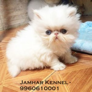 Extreme Punch Face Persian Kitten for Sale in Pimple Saudagar, Pune -Pet Shop, Cat Breeder in Pimple Saudagar Pet Shop / Store, Dog n Cat Breeder in Pimple Saudagar – Jamhar Kennel | pet shop / store, dog n cat breeder in pimple saudagar – jamhar kennel