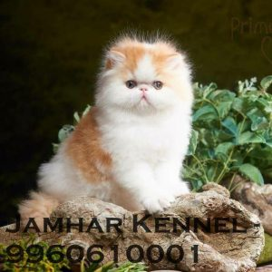 Full Punch Face Persian Kitten for Sale in Pimple Saudagar, Pune -Pet Shop, Cat Breeder in Pimple Saudagar Pet Shop / Store, Dog n Cat Breeder in Pimple Saudagar – Jamhar Kennel | pet shop / store, dog n cat breeder in pimple saudagar – jamhar kennel