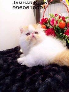 Full Punch Face Persian Kitten for Sale in Pimple Saudagar, Pune-Pet Shop, Cat Breeder in Pimple Saudagar 4 Pet Shop / Store, Dog n Cat Breeder in Pimple Saudagar – Jamhar Kennel | pet shop / store, dog n cat breeder in pimple saudagar – jamhar kennel