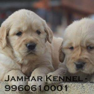 Golden Retriever Puppies for Sale in Pimple Saudagar, Pune-Pet Shop, Dog Breeder in Pimple Saudagar Pet Shop / Store, Dog n Cat Breeder in Pimple Saudagar – Jamhar Kennel | pet shop / store, dog n cat breeder in pimple saudagar – jamhar kennel