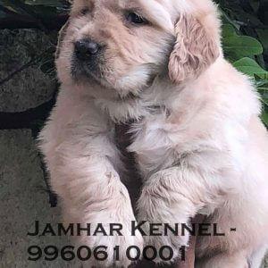 Golden Retriever Puppy for Sale in Pimple Saudagar, Pune-Pet Shop, Dog Breeder in Pimple Saudagar 5 Pet Shop / Store, Dog n Cat Breeder in Pimple Saudagar – Jamhar Kennel | pet shop / store, dog n cat breeder in pimple saudagar – jamhar kennel
