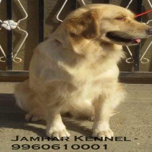 Golden Retriever for Sale in Pimple Saudagar, Pune-Pet Shop, Dog Breeder in Pimple Saudagar 11 Pet Shop / Store, Dog n Cat Breeder in Pimple Saudagar – Jamhar Kennel | pet shop / store, dog n cat breeder in pimple saudagar – jamhar kennel