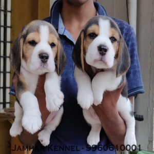 Healthy Beagle Puppies For Sale-Dog Breeder in Pimple Saudagar, PCMC, Pune Pet Shop / Store, Dog n Cat Breeder in Pimple Saudagar – Jamhar Kennel | pet shop / store, dog n cat breeder in pimple saudagar – jamhar kennel