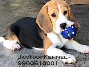 Healthy Beagle Puppy For Sale-Dog Breeder in Pimple Saudagar, PCMC, Pune 2 Pet Shop / Store, Dog n Cat Breeder in Pimple Saudagar – Jamhar Kennel | pet shop / store, dog n cat breeder in pimple saudagar – jamhar kennel