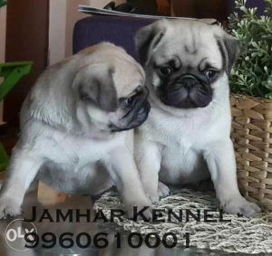Healthy Pug Puppies For Sale-Dog Breeder in Pimple Saudagar, PCMC, Pune Pet Shop / Store, Dog n Cat Breeder in Pimple Saudagar – Jamhar Kennel | pet shop / store, dog n cat breeder in pimple saudagar – jamhar kennel