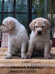 Labrador PuppiesFor Sale- Dog Breeder in Pimple Saudagar, PCMC Pet Shop / Store, Dog n Cat Breeder in Pimple Saudagar – Jamhar Kennel | pet shop / store, dog n cat breeder in pimple saudagar – jamhar kennel