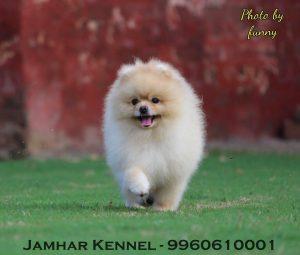 Miniature Pom Puppy For Sale- Dog Breeder in Pimple Saudagar, PCMC 12 Pet Shop / Store, Dog n Cat Breeder in Pimple Saudagar – Jamhar Kennel | pet shop / store, dog n cat breeder in pimple saudagar – jamhar kennel