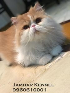 Punch Face Persian Kitten for Sale in Pimple Saudagar, Pune -Pet Shop, Cat Breeder in Pimple Saudagar, PCMC Pet Shop / Store, Dog n Cat Breeder in Pimple Saudagar – Jamhar Kennel | pet shop / store, dog n cat breeder in pimple saudagar – jamhar kennel