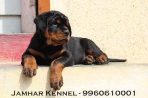 Rottweiler Puppy For Sale-Dog Breeder in Pimple Saudagar, PCMC, Pune Pet Shop / Store, Dog n Cat Breeder in Pimple Saudagar – Jamhar Kennel | pet shop / store, dog n cat breeder in pimple saudagar – jamhar kennel