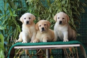 Show Quality Labrador Puppies for Sale in Pimple Saudagar, Pune-Pet Shop, Dog Breeder in Pimple Saudagar, PCMC Pet Shop / Store, Dog n Cat Breeder in Pimple Saudagar – Jamhar Kennel | pet shop / store, dog n cat breeder in pimple saudagar – jamhar kennel