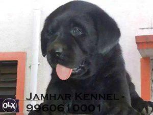 Show Quality Labrador Puppy for Sale in Pimple Saudagar, Pune-Pet Shop, Dog Breeder in Pimple Saudagar, PCMC 2 Pet Shop / Store, Dog n Cat Breeder in Pimple Saudagar – Jamhar Kennel | pet shop / store, dog n cat breeder in pimple saudagar – jamhar kennel