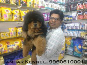 Tibetian Mastiff Puppy available for sale-dog breeder in Pimple Saudagar, PCMC Pet Shop / Store, Dog n Cat Breeder in Pimple Saudagar – Jamhar Kennel | pet shop / store, dog n cat breeder in pimple saudagar – jamhar kennel